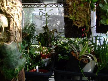 ブロメリア寄せ植え~棚下一番奥で花芽をあげています♪2012.09.11
