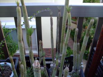 セネシオ クレイニア モンキーツリー(Senecio kleinia)天竜(てんりゅう) 葉が細いタイプと幅広タイプがあります。2012.09.14