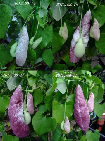 アリストロキア(ウマノスズクサ科) ギガンティア(Aristolochia gigantea)あっという間に袋が大きく膨らみました~2012.09.17