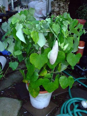 アリストロキア(ウマノスズクサ科) ギガンティア(Aristolochia gigantea)気が付くと袋ができていました!2012.09.14