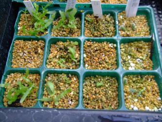 葦サボテンリプサリス)~左3列■プセウドリプサリス ラムローサ(Pseudorhipsalis ramulosa)右1列■リプサリス モナカンタ(Rhipsalis monacantha) 実生苗