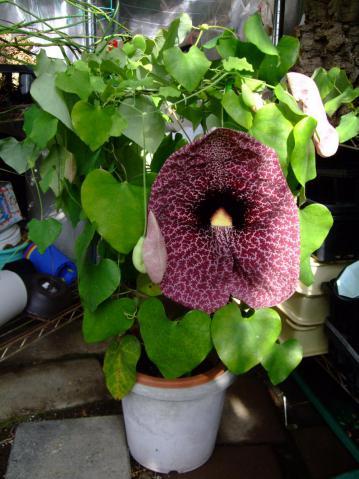 アリストロキア(ウマノスズクサ科) ギガンティア(Aristolochia gigantea)あっという間に袋が大きく膨らみ開花しました(鉢高さ20cm)~2012.09.18