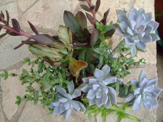 多肉植物寄せ植え~♪エケベリア カントリス斑入り、ハナイカダ、ツキハナビジンなどなど~♪2012.09.27