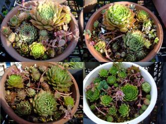 センペルビウム寄せ植えがキレイになってきました♪猛暑を乗り切ったセンペルたち~2012.09.24