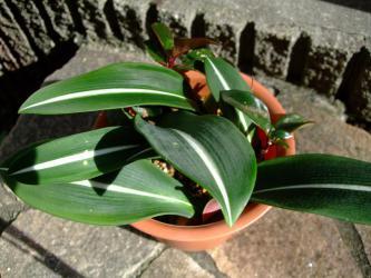 シロズジアマリリス(Hippeastrum reticulatum var. striatifolium)3年目でも咲かない(´ヘ`;)~2012.09.26