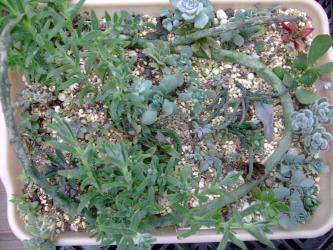 多肉植物いろいろ挿し木苗~セロペギア、葉物メセン、セダム ヒントニー、重扇など~♪2012.09.27