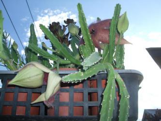 スタペリア グランデフロラ(Stapelia grandiflora)大花犀角(おおばなさいかく)開花中~何だか生くさい臭い・・・(´ヘ`;)2012.10.04