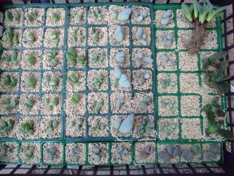 高度玉型メセンいろいろ~ギバエウム、リトープス、ケイリドプシスなどなど挿し木しました!挿し芽用鹿沼土に薫炭混合用土2012.10.05