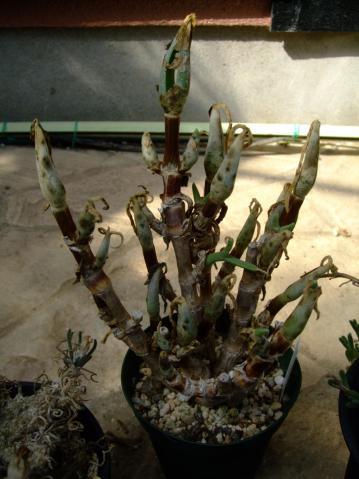 ミトロフィルム 怪奇鳥(かいきちょう)(Mitrophyllum mitratum)塊根性冬型メセン~まだ~皮で覆われていました。 2012.10.05