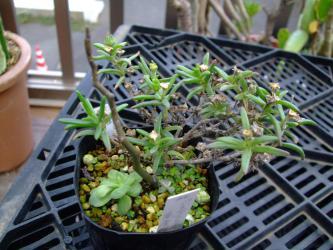 メストクレマ マクロリズム(Mestoklema macrorhizum)白花~何処からともなくこぼれ種発芽~2012.10.08