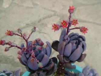 パキベリア 紫麗殿(シレイデン)~魅惑の思ったより赤い花~咲いています♪2012.10.23