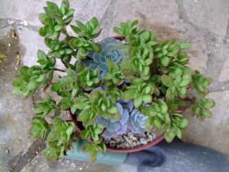 緑は~クラッスラ (天狗の舞)(Crassula dejecta)、薄ブルーはエケベリア ルンヨニー(Echeveria runyonii)2012.10.25