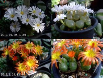 オフタルモフィルム~白花&模様のあるコノフィツム~オレンジ花開花♪2種とも午前中から咲き始め午後3時には閉じてしまいます♪3~4日閉じたり開いたりして咲いています♪2012.10.29