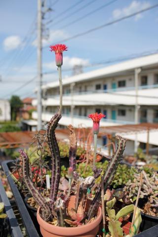 セネシオ(セネキオ) スタペリフォルミス(Senecio stapeliformis)鉄錫杖(てっしゃくじょう)赤い花が咲きました2012.05.24!