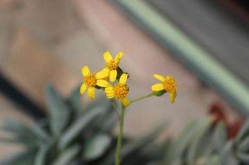セネシオ 清涼刀・ 紫蛮刀・クラシハマタ(Senecio crassissimus)葉の丸っぽいタイプ~黄色い菊花咲いています2012.05.24