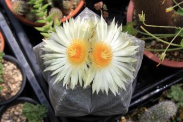 アストロフィツム 鸞鳳玉(らんぽうぎょく)Astrophytum myriostigma ~開花~2012.05.26