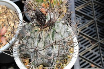 アストロフィツム 白瑞鳳玉(はくずいほうぎょく)Astrophytum capricorne var. niveum ~蕾~2012.05.26