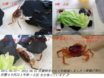 沢蟹さん飼育から丸1年経過しました~♪5匹生き残っています!2012.06.01