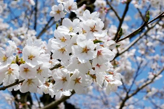 桜00244