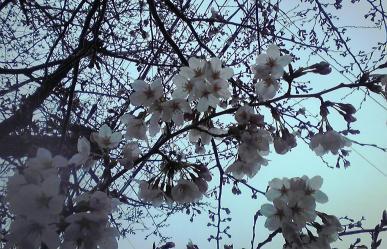 sakura~