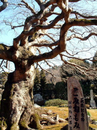横瀬町横瀬 西善寺の小峰楓1
