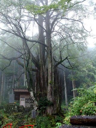 山梨県上野原市 軍刀利神社のカツラ2
