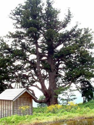 新潟県十日町市 坊金の大杉③1