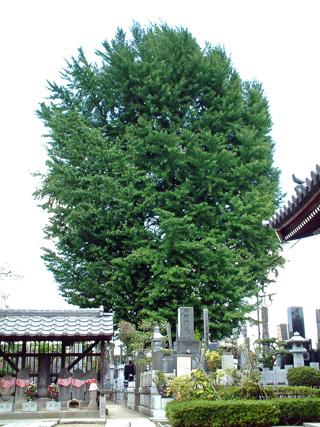 東京都 常善院の銀杏①