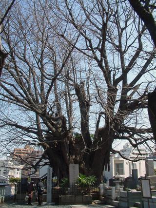東京都 善福寺の逆さ銀杏②2012_0320