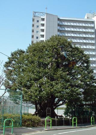 東京都 旧細川邸のシイ2012_0320