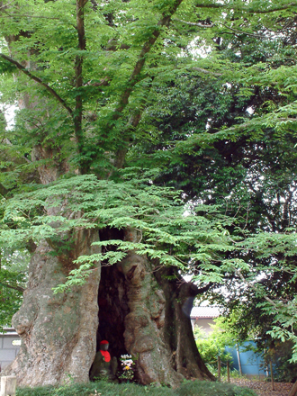 茨城県 地蔵ケヤキ②2012_0524