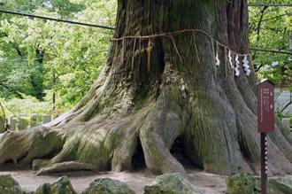 茨城県 筑波山神社の大杉④2011_0621