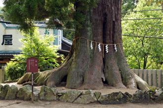 茨城県 筑波山神社の大杉③2011_0621