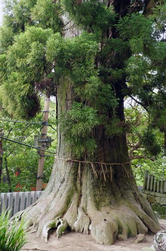 茨城県 筑波山神社の大杉②2011_0621