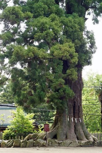 茨城県 筑波山神社の大杉①2011_0621