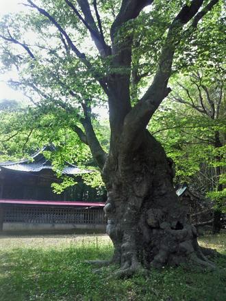 茨城県 八柱神社のケヤキ⑥2012_0524