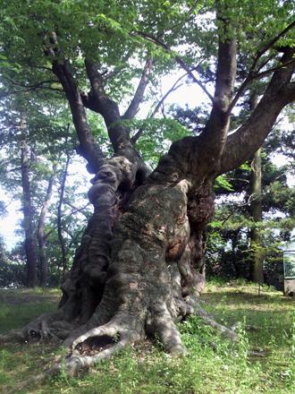 茨城県 八柱神社のケヤキ⑤2012_0524