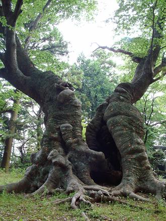 茨城県 八柱神社のケヤキ⑧2012_0524