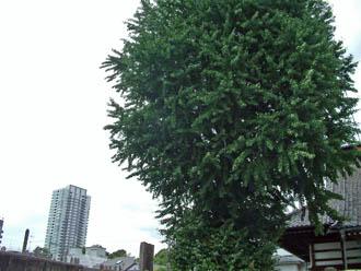 東京都品川区 法禅寺のイチョウ⑤2012_0804