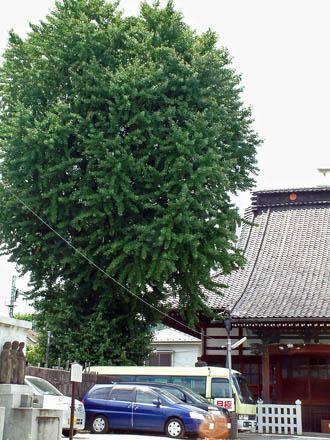 東京都品川区 法禅寺のイチョウ④2012_0804