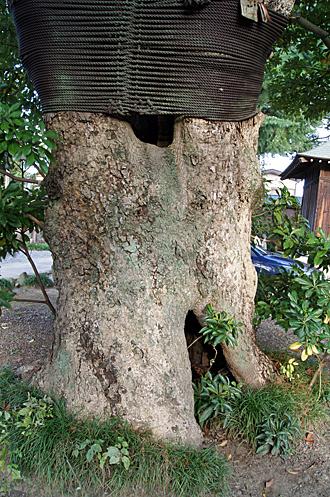 20121013埼玉県 大聖寺のタブノキ④