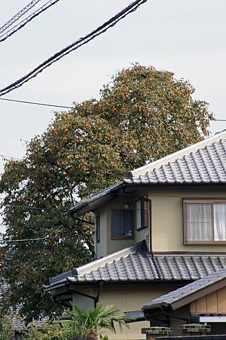 2012_1025大きな柿の木_edited-1