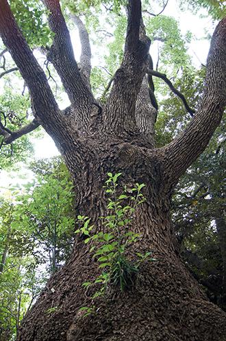 121028東京 玉川神社クス⑦