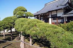 121108埼玉 萬松寺の松