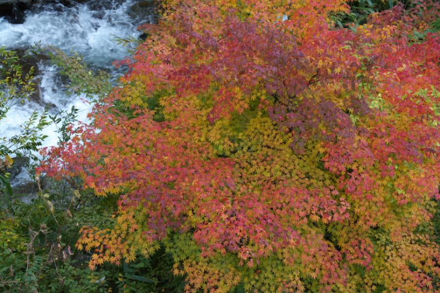 茶臼山紅葉1b1