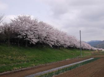 桜づつみモデル事業