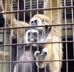 オランウータンの他にもテナガザル、チンパンジーら類人猿が