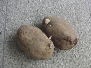 キタムラサキ種芋