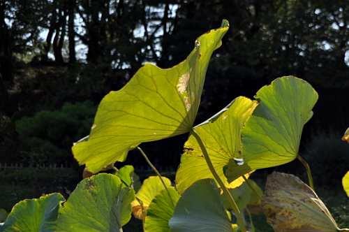 池の枯葉3