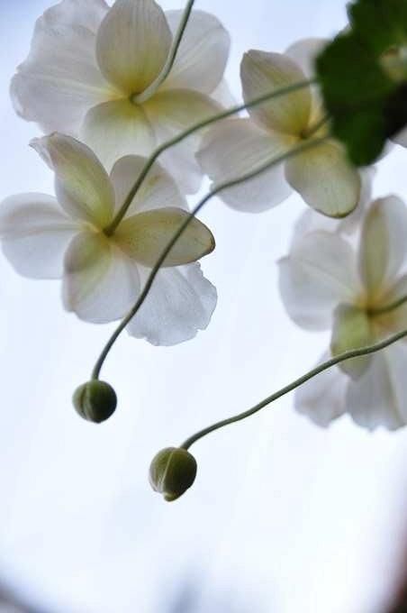 シュウメイ菊2